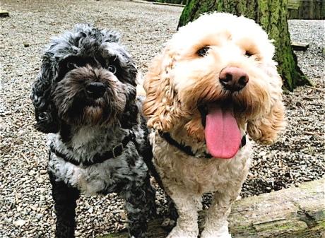Luka & Tico - Cockapoo cuteness